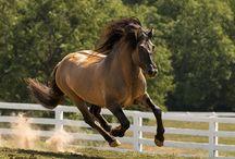 ♡highland pony