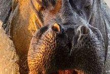 Hippo -hrošíci