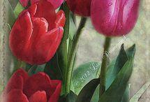 tulipany wysocy