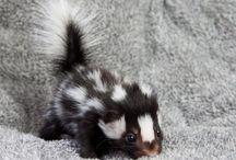 Sweet Baby Skunks