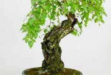 bonsai betula