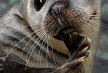 Arctic: Seals/Greenland
