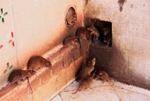 Rat Control Services In Atlanta, GA
