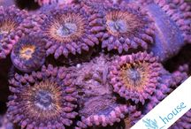 Zoanthus - Palys CoralHouse / Zoanthusy w CoralHouse