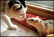 ποντικι