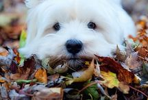 West Highland White Terrier / by Kathleen Calahane