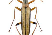cephalodidae