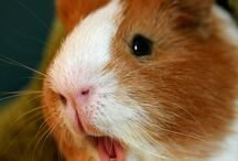Guinea pigs / by Courtney bower