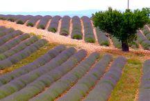 Lavendel Lavender Lavande / France Frankreich Lavender Lavendel Lavande
