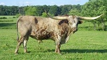 Registered Texas Longhorn (Breeding)