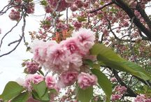 Its Spring. Look at the Cherry Blossom. Drop us a note or share with us your pics !! We love this season so much