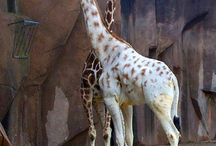 giraffes are my favorite