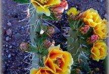 Cactus (kaktusz)