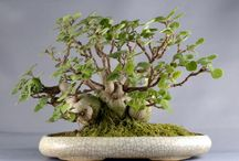 sukulents bonsaj style
