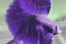 peixes bettas