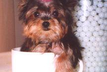 "~ I Love Yorkies ~ / ""My little dog - a heartbeat at my feet.""   ~ Edith Wharton / by Turtle Shoaf 🐢"