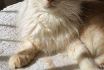 The Beauty of a Maine Coon / my favorite Ras