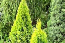 Arborvitae / Shrubs