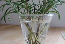 Propagate Rosemary