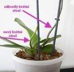 orchidej pěstování