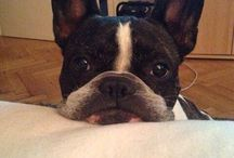 Charlie the frenchie / My sweet dog or ufo i dont know, but i sware he can speak....