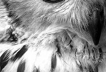 sowa - owl