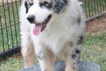 Aussie / my favourite dog breed :D