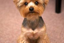 Yorkie hair cuts / New hair styles for my two