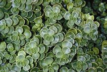 Sedum - Stonecrop / Sedums (or Stonecrops) offer a wide variety of color and habit and never need much water.   Use these colorful succulents in sunny spots and you won't be disappointed!