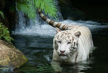 Tiger & Löwen