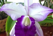 Orchidej / Orchid