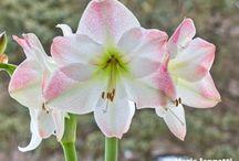 Hagymás virágok