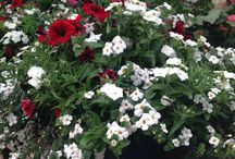 Dream hanging baskets / Locally grown hanging baskets