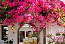 Bougainvillea in all its glory.