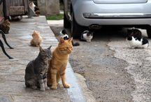 chats corses