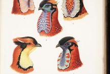 *****ornitologia1