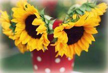 Flores: Girassóis Muito Lindos