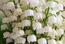 Lily of wolley