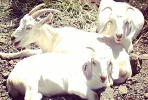 Tanner Creek Goats / The goats at Tanner Creek Park helped remove invasive weeds during June 2014. And, they are super cute. / by West Linn