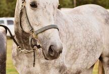 Grey mares