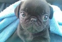 Pugs my Fave Dogs / by LaDonna Snyder