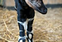 okapi calfn more