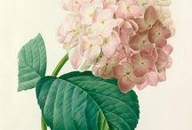 Fleurs de Redoute