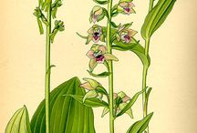 Wild orchids illustration