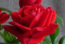 Fleurs les Roses