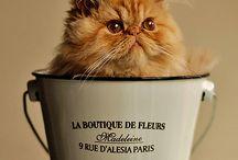 Love Persian Cats