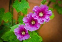 Hollyhocks tips for care