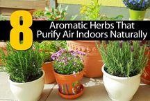 Aromaattinen,  ilmaa puhdistavat kasvit