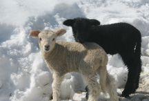 Schafe... die ich besonders gern mag