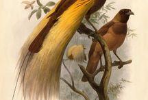 Monograph of the Paradiseidae from Daniel Giraud Elliot